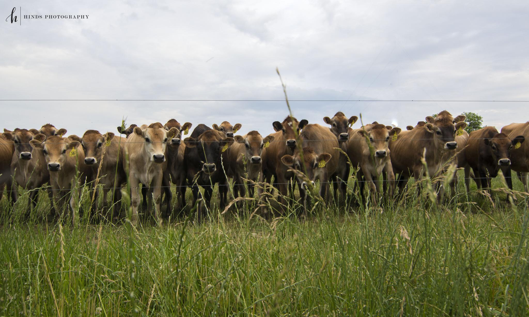 Parade of Cows
